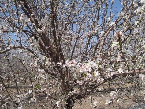 Almond+trees[1]